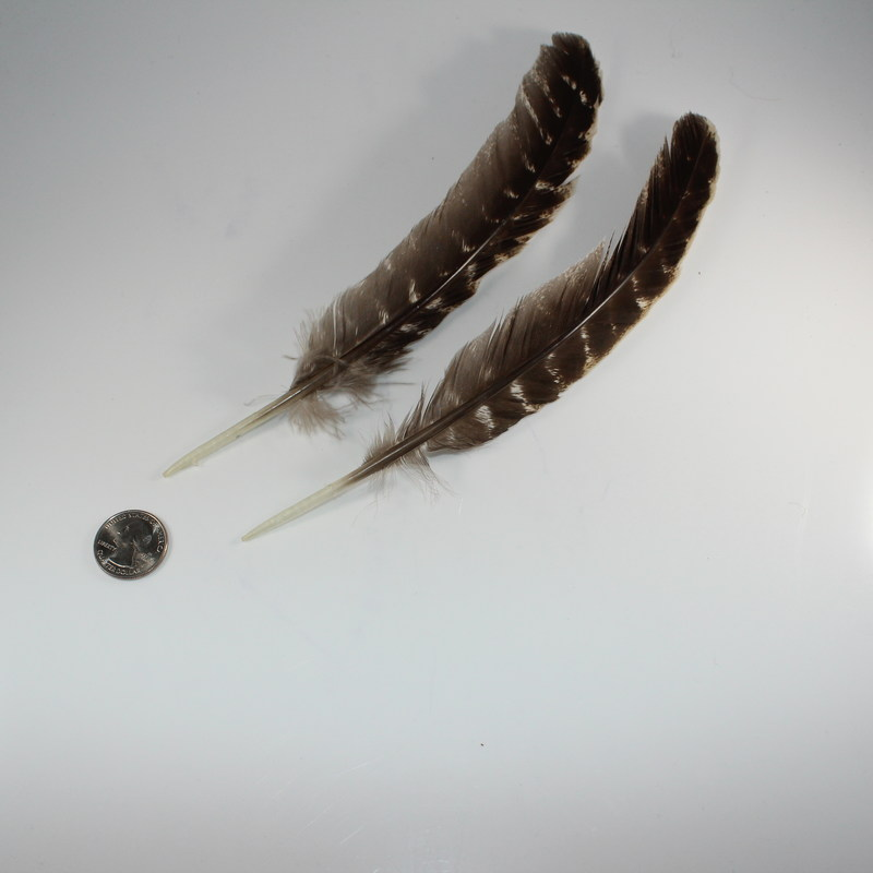 Single Turkey Feather